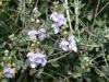 Camedrio Femmina (Teucrium fruticans)