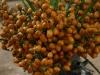 Datteri palma nana (Chamaerops humilis)