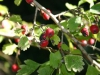 Frutti biancospino (Crataegus monogyna)