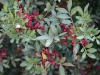 Frutti di lentisco (Pistacea lentiscus)
