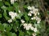 Infiorescenza Biancospino (Crataegus monogyna)