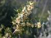Infiorescenza fillirea (Phillyrea latifolia)