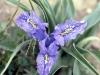 Giaggiolo bulboso (Iris planifolia)