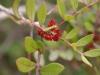 Infiorescenza Lentisco (Pistacea lentiscus)