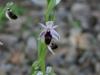 Ofride a mezza luna (Ophrys lunulata)