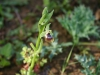 Ofride dei fuchi (Ophrys oxirrnhynchos)