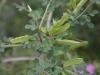 Sparzio Spinoso (Calicotome infesta)