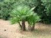 Palma nana (Chamaerops humilis)