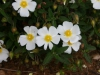 Cisto Bianco (Cistus salvifolius)