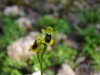 Ofride gialla (Ophrys lutea)