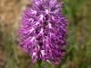 Omino nudo (Orchis italica)